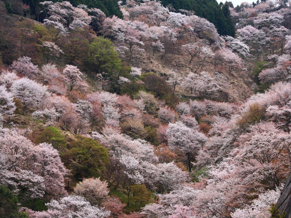奈良の観光は吉野の桜を観に行こう!アクセスは?満開はいつ?