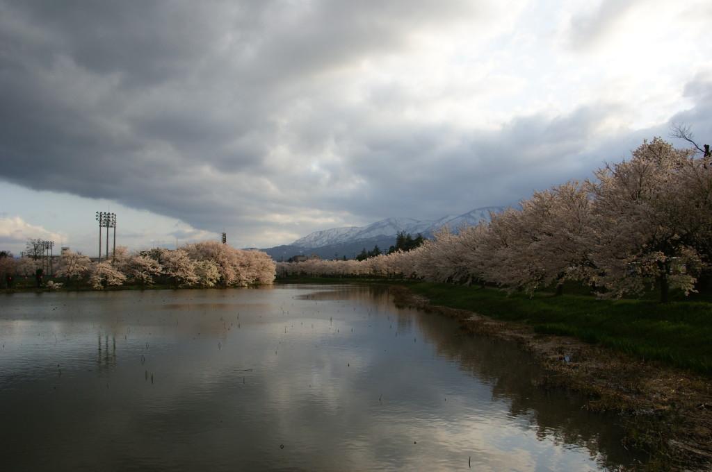 新潟の高田公園の桜情報は?見頃は?アクセスは?