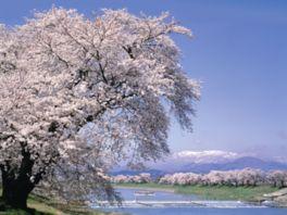 一目千本桜を見るにはどのようなアクセスがある?どこで見るの?満開はいつくらい?