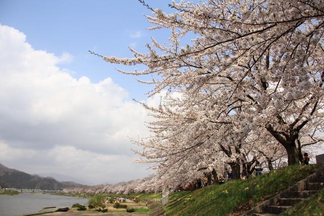 角館の桜の見ごろは?渋滞する?観光するところは?